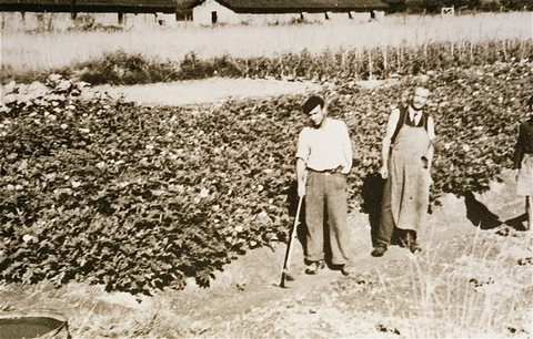 Prisoners in the Gurs camp work in gardens set up by the American Friends Service Committee. This Quaker organization provided relief to prisoners at Gurs. France, ca. 1943.