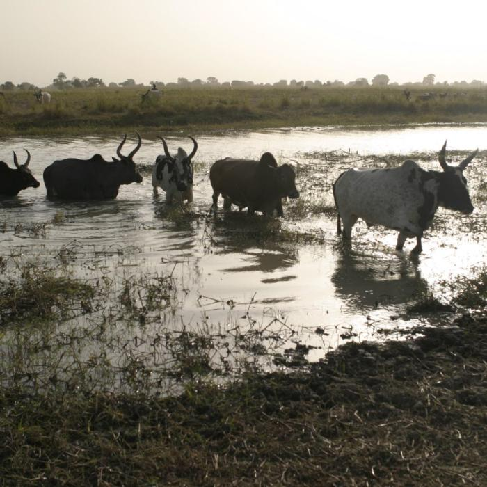 Dinka cattle crossing the Llol River. Cattle are the central economic feature of traditional Dinka culture. December 2004. <i>James Nicholls for US Holocaust Memorial Museum.</i>