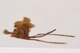 Dried and Pressed Flower