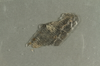 2016.552.4 side B Flake of mica collected from Theresienstadt by a German Jewish factory worker  Click to enlarge